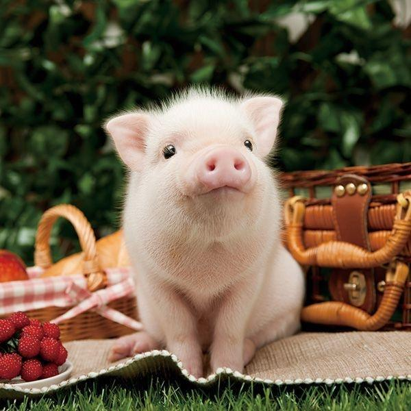 What is a baby pig called? - Quora