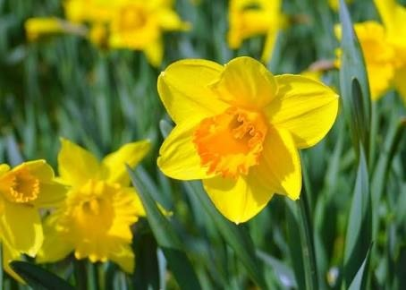 What Is Daffodil Called In Sanskrit Quora