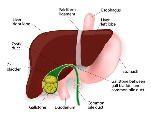 What are the main functions of the bile duct? - Quora