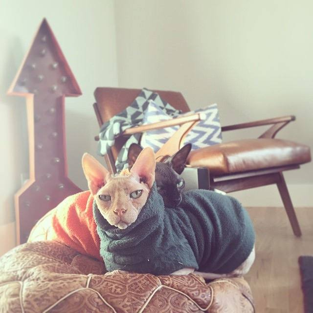 What Is A Good Way To Adopt A Sphynx Cat For Free Quora