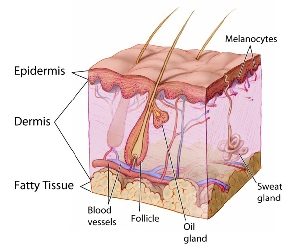 What is a word for those who do medical studies on skin and