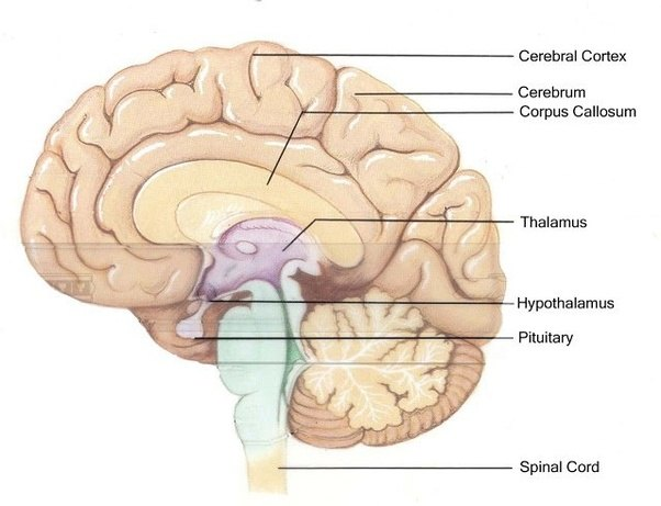 Which parts of the brain control which human behaviours quora but it also controls basic human drives like hunger and thirst and circadian cycles in terms of behavior the hypothalamus controls mood anger ccuart Images