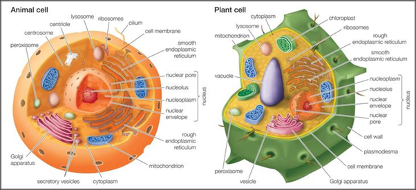 What is the difference between a chick cell and an onion cell quora animal plant cell differences image lifted from thoughtco article differences between plant and animal cells ccuart Image collections