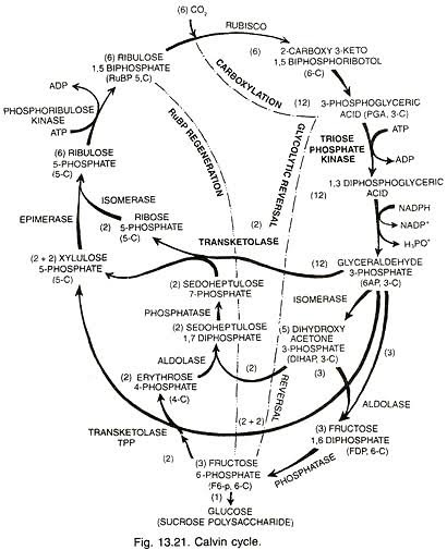 What Is The C3 Cycle And Its Complete Diagram