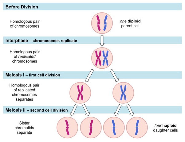 Genetic Recombination and Crossing Over