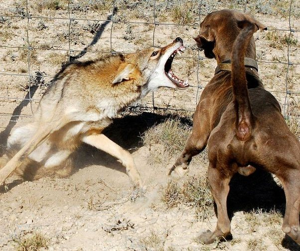 When Great Dogs Fight The Small Dog Gets