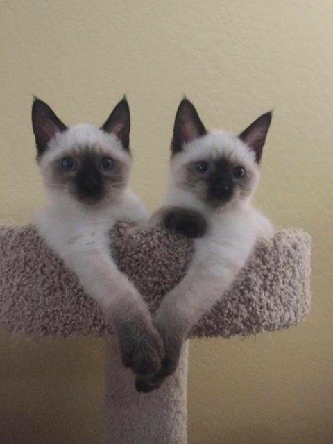 Colorus: Siamese Kittens For Sale Near Me