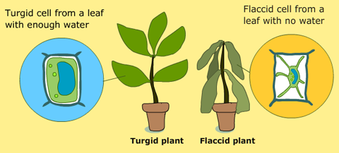 See Also This Google Image Query: Turgid U0026 Flaccid Plant Cell
