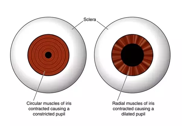 What Happens To The Pupil Of An Eye In A Bright Or Dark