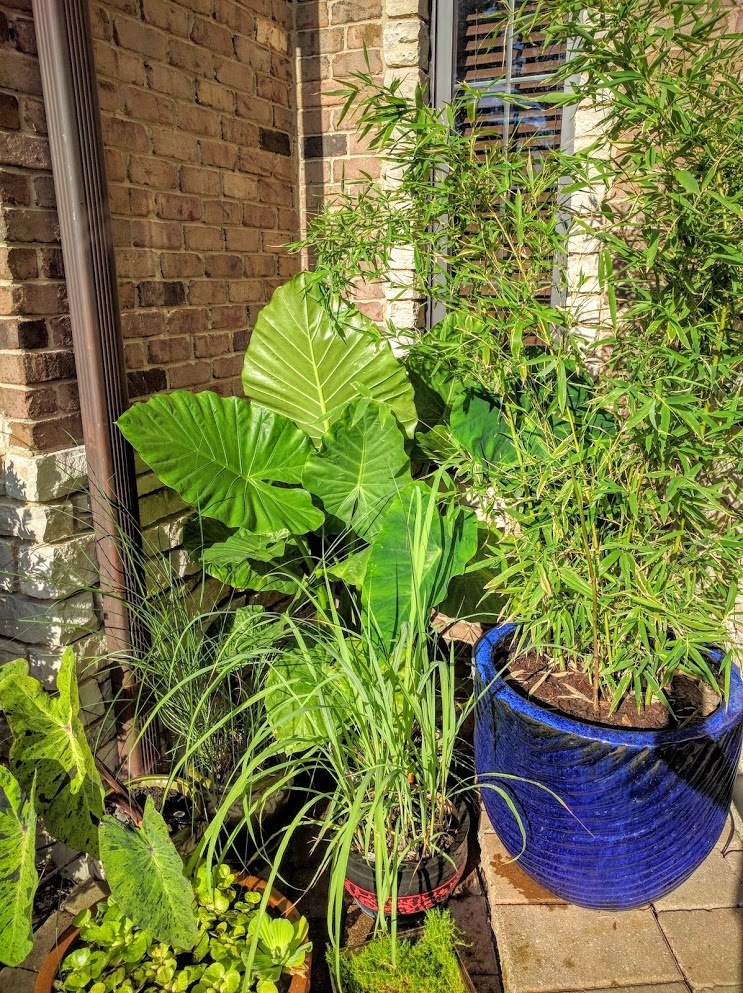 Take Care Of A Potted Bamboo Plant Quora, How To Care For Outdoor Potted Bamboo Plants