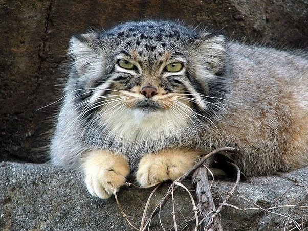 Can pallas cats be kept as pets are they dangerous quora pallas cat publicscrutiny Images