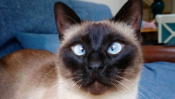 How Long Do Siamese Cats Live Quora