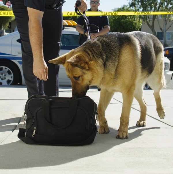 What's the best way to hide the smell of cannabis from a drug dog