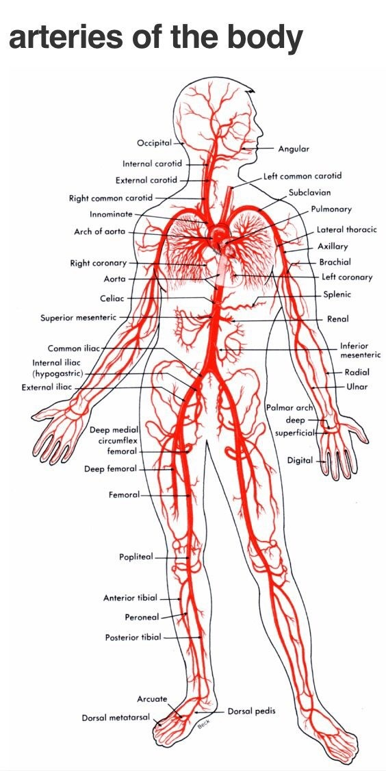How is oxygenated blood from the left atrium sent to all parts of ...