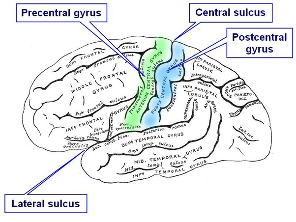 What are gyri (gyrus)? - Quora