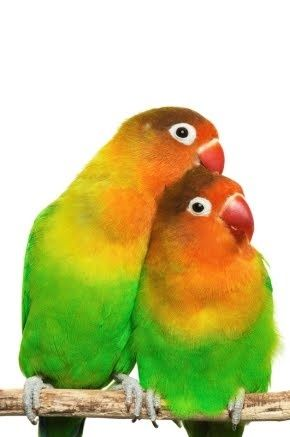 African lovebirds with name - photo#38