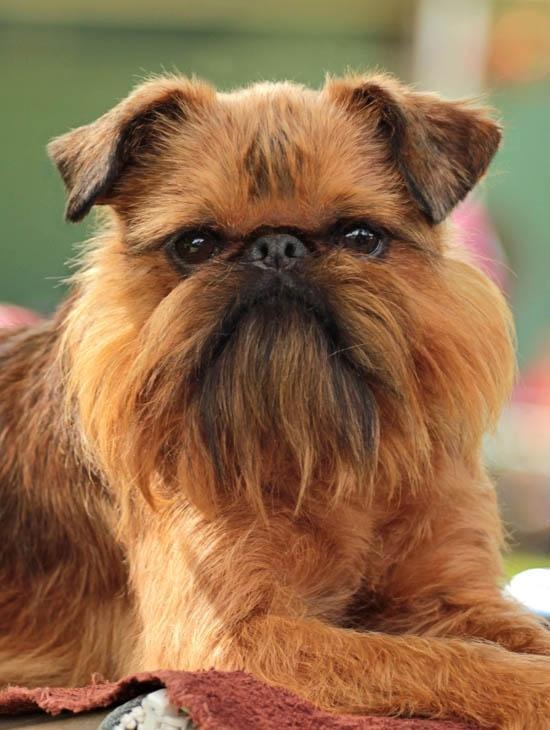Dogs That Look Like Ewoks