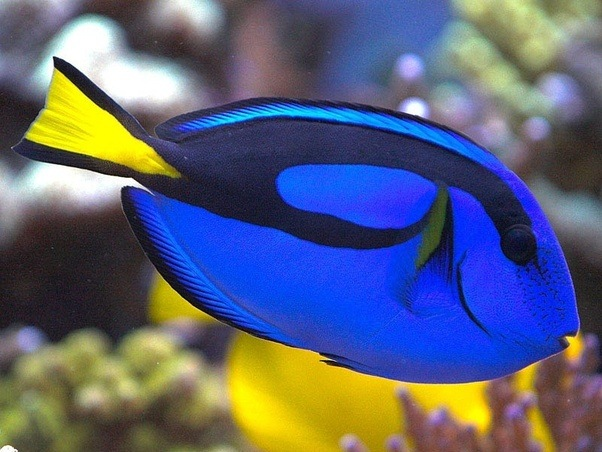 What types of fish are in finding nemo quora for What kind of fish is this