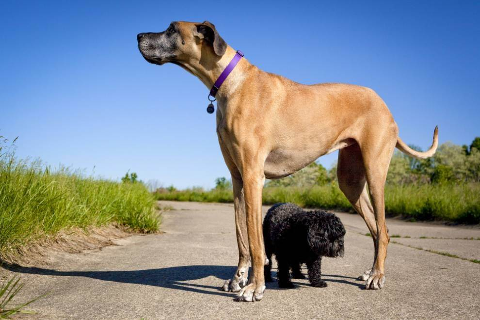 What is the largest breed of dog? - Quora
