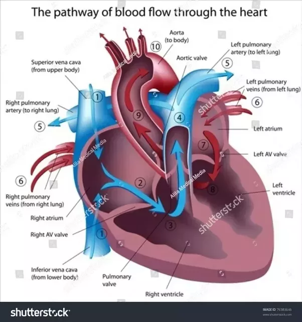 What Is The Function Of The Atrioventricular Node Quora
