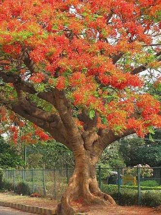 Essay on gulmohar tree