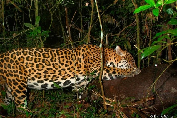 What Do Jaguars Eat >> What Do Jaguars Eat In The Wild Quora