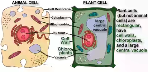what function do vacuoles perform in plant and fungal cells