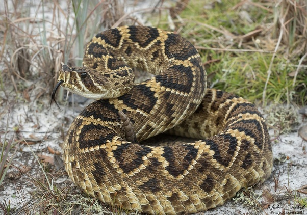 Is a bushmaster a more dangerous snake than an Eastern