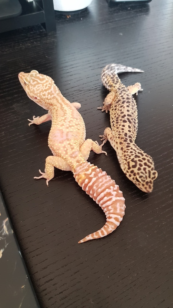 Why Are Albino Lizards So Rare Quora