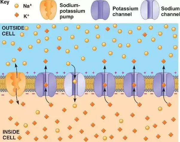 What is the resting membrane potential of a neuron? - Quora