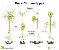What are the differences between unipolar bipolar and multipolar the neuron is composed of dendrites gets incoming information and axons which passes the information along either to a muscle cell or another neuron ccuart