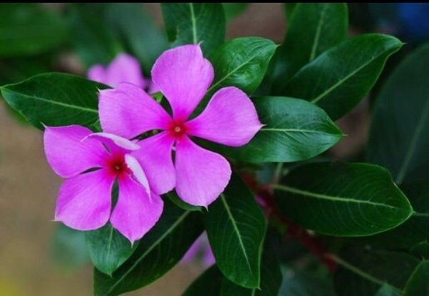 What is the name of the common purple flower with 5 petals india answer wiki mightylinksfo
