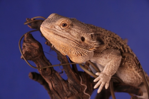 Should I get a leopard gecko or a bearded dragon? - Quora