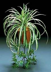 Plant runners asexual reproduction pictures