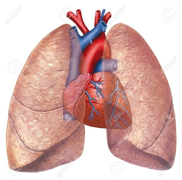 What causes the left lung in a human to be smaller than the right ...
