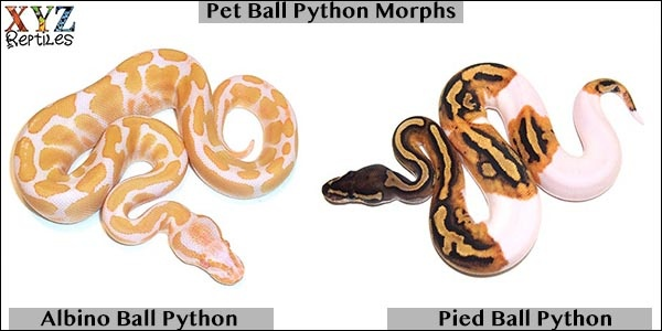 I am looking to get a reptile as a pet  What are some good