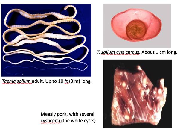 Cum să tratați viermii de tip Tapeworm la pisici - Căței -