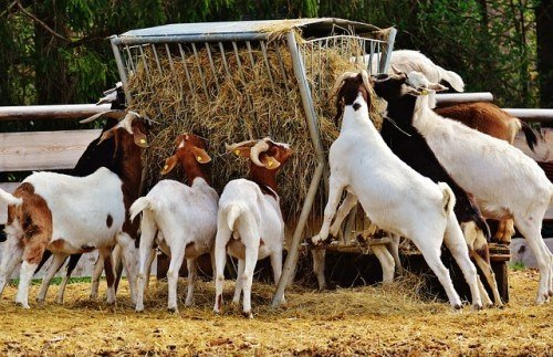How Much One Can Earn In Goat Farming In India Quora