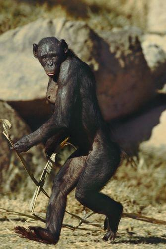 Which Human Habits Do Monkeys Perfectly Imitate And