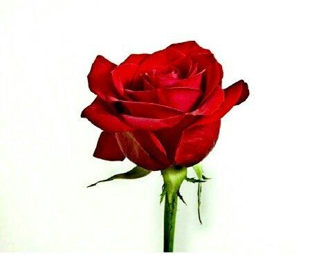 Rose flower in Sanskrit language is called Vrittapushpa.