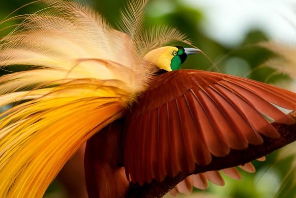 Mengapa Burung Cenderawasih Disebut Sebagai Fauna Endemik Papua Quora