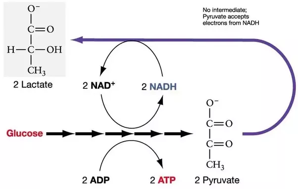 What Is The Difference Between Atp And Adp How Is Energy