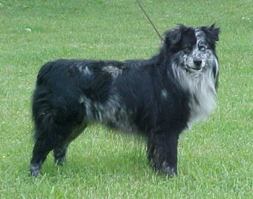 What Is A Blue Merle Australian Shepherd What Color Or