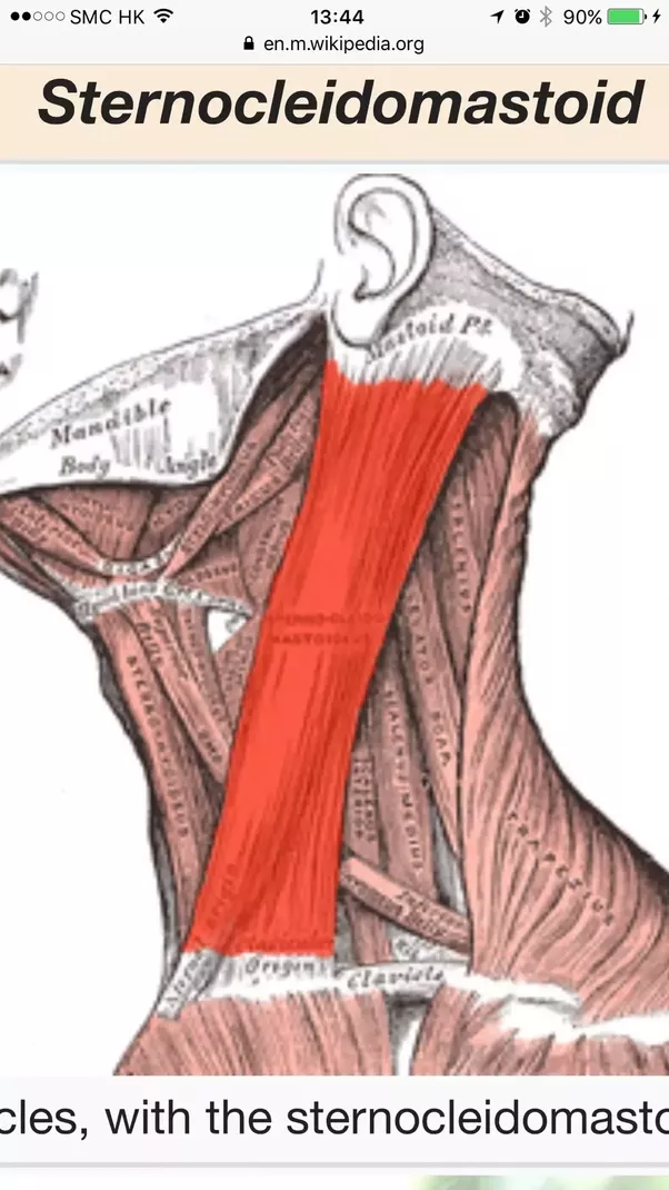 Do Any Muscle Protect The Carotid Artery Or Is It Right Under The