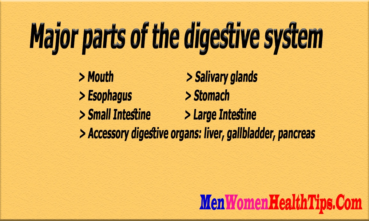 What Is The Outline Of The Human Digestive System Quora