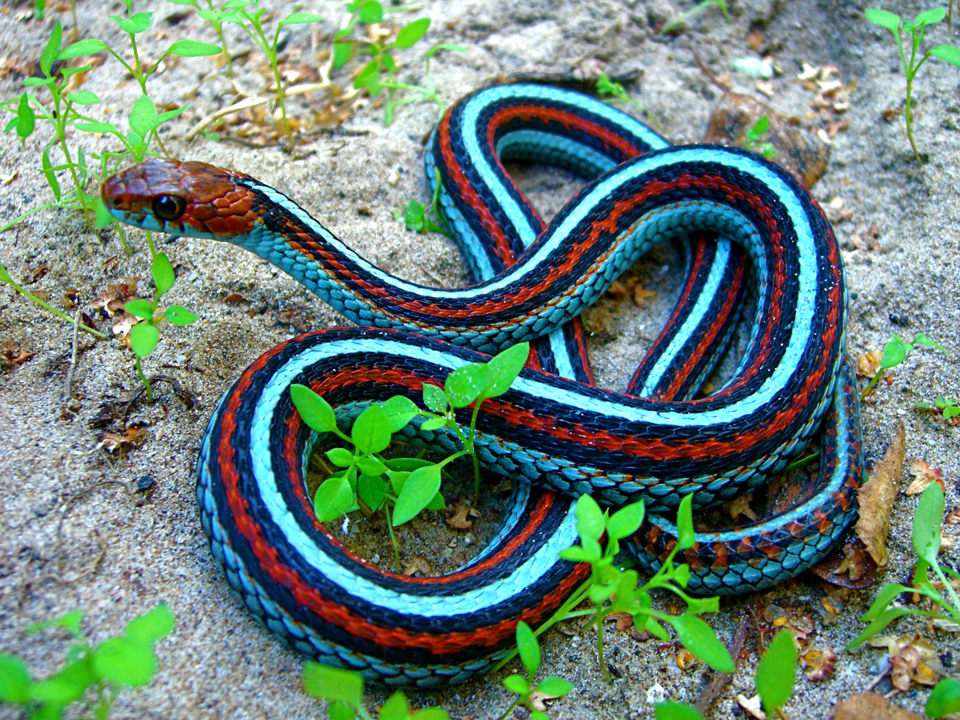 What Are Some Pet Snake Species That Don T Need To Eat Rodents And Let Me Hold Them Quora