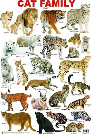 Why Do Tigers Belong To The Cat Family On Wikipedia Quora