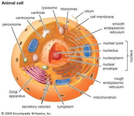 What is the relationship between cells tissues and organs quora a cell is the smallest structural and functional unit of an organism it is usually microscopic but you can find cells that are macroscopic too ccuart Images