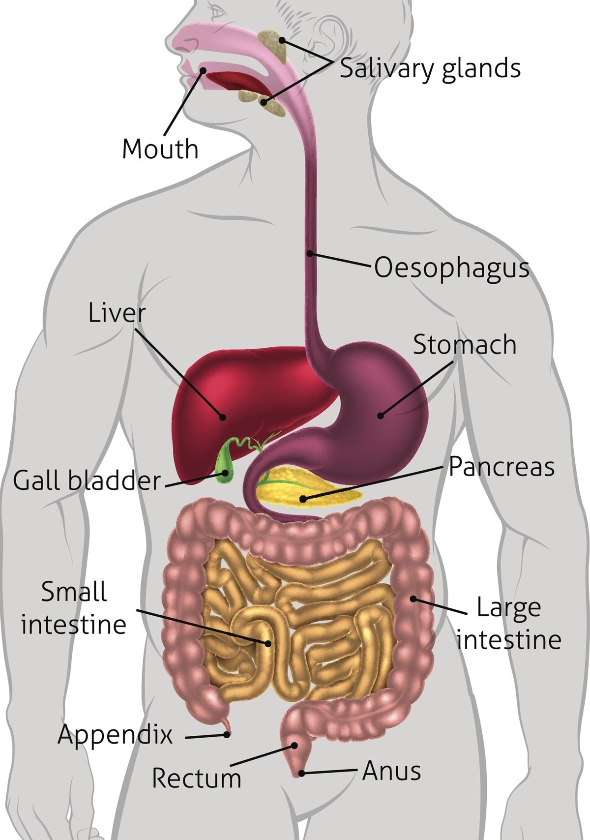 Appendix And Pancreas Anatomy Diagram Great Installation Of Wiring