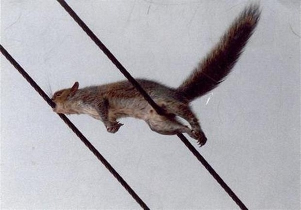 What Would Need To Happen To A Squirrel On A Electric Wire